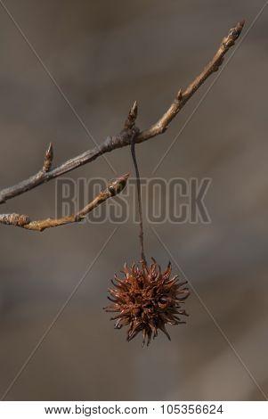 Sweet Gum Tree Seed Pod