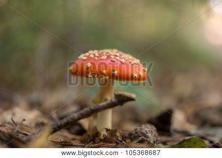 Fly Agaric Fungi in the forest