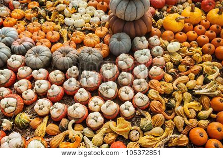 Background made of bright colorful pumpkins for the autumn season and Halloween.