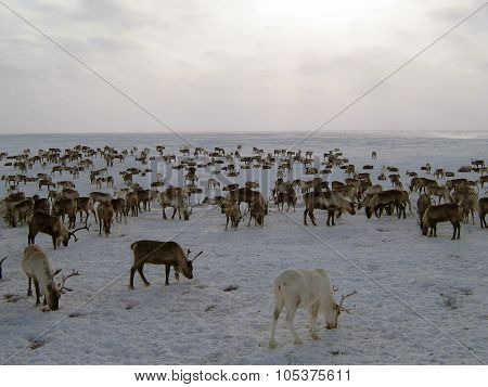 Reindeers On A Yagelny Pasture