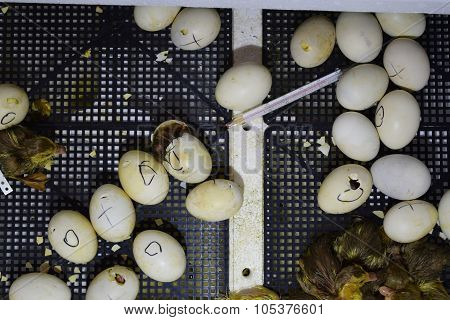 Hatching Of Eggs  Ducklings  Of A Musky Duck In An Incubator.