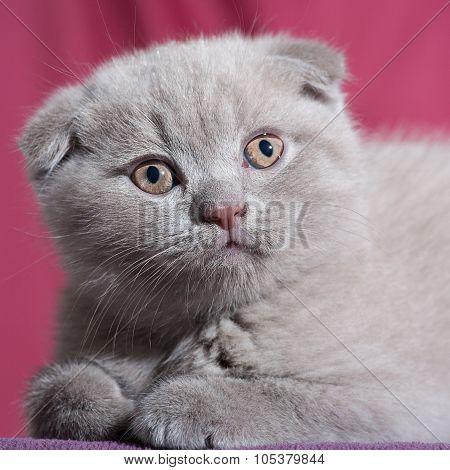 Scottish fold cat.