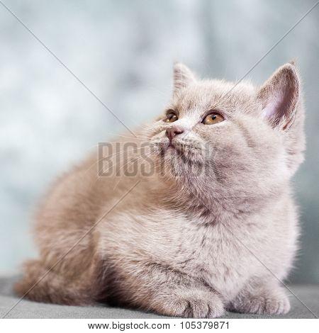 Scottish straight cat.