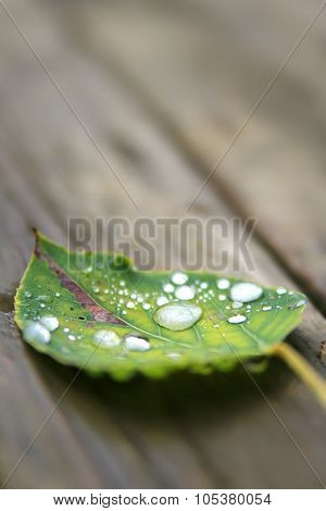 Fallen Wet Leaf With Drops