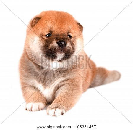 Shiba Inu puppy isolated on a white background