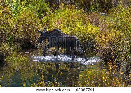 Female Moose In The Conundrum Creek Colorado