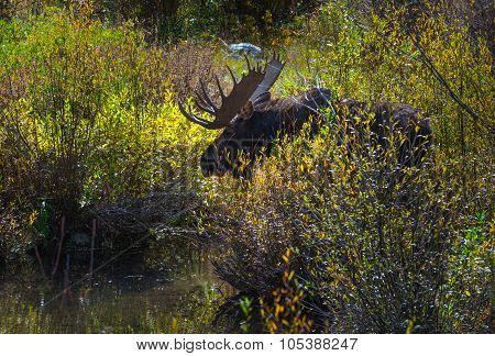 Adult Male Moose In The Conundrum Creek Colorado
