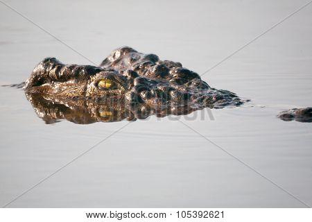 Crocodile  Botswana, Africa