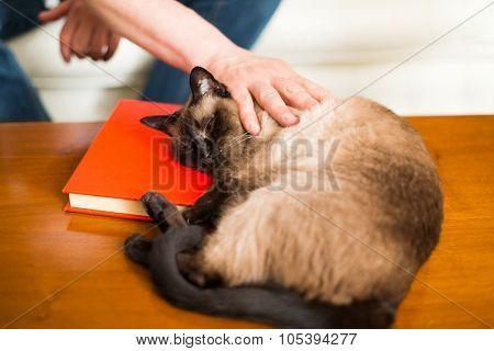 Siamese cat sleeping on a book