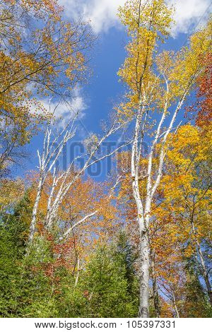 White Birch Trees In Autumn Against A Blue Sky