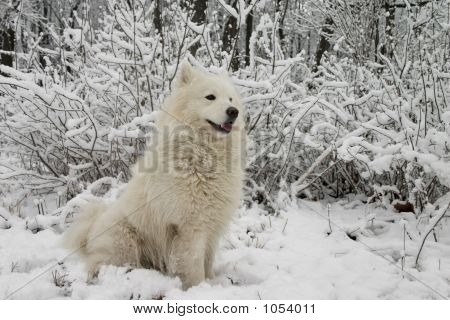 Samoyed Dog In The Snow Bushes