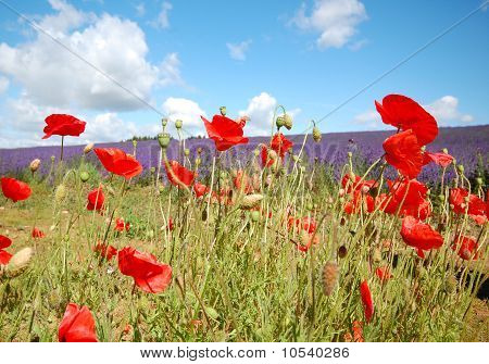 Poppies in Lavander Field
