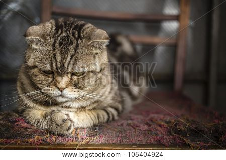 sad striped Scottish Fold cat