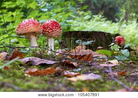Fall at the forest with a Amanita muscaria fly agaric