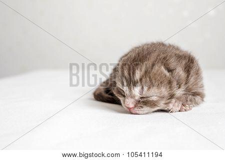 newborn striped kitten Scottish Fold sleeps