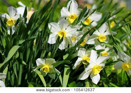first spring flowers - daffodils