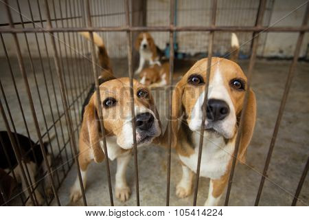 Sad Beagle Dog In Cage