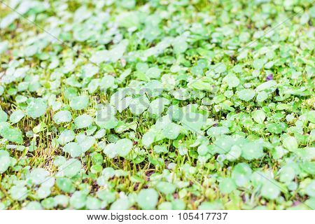 Leaves Centella Asiatica