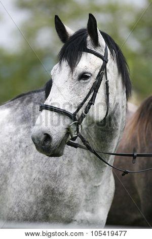 Head Shot Of A Purebred Gray Horse Rural Scene