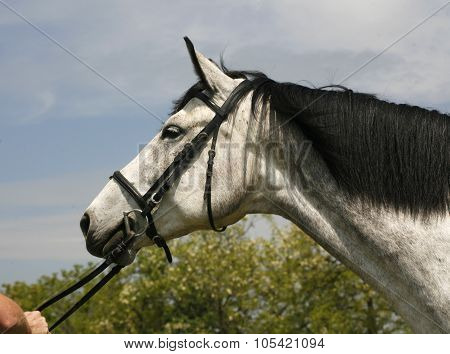 Side View Head Shot Of A Thoroughbred Gray Mare