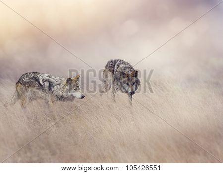 Two Wolves Stalking Through Tall Grass