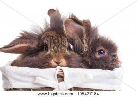 Two cute lion head rabbit bunnys sitting inside a wood basket.
