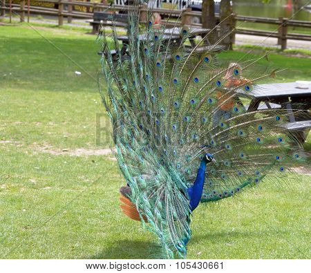 Peacock In Fota Cork