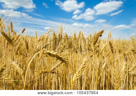 wheat field in the wind and cloudy blue sky