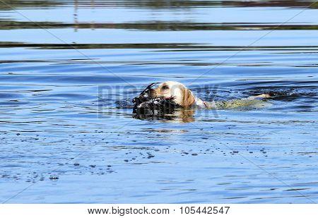 The Yellow Hunting Labrador Retrieving