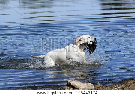 A Nice Yellow Hunting Labrador Retrieving