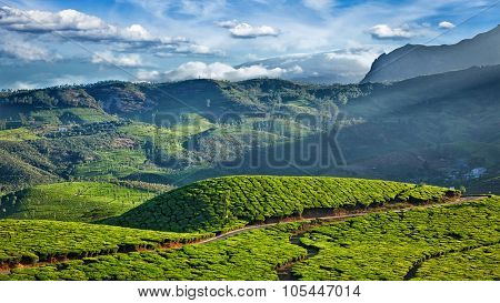 Panorama of green fresh tea plantations on sunrise. Munnar, Kerala, India