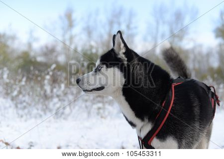 Sled dog breed Siberian Husky in the late autumn in the woods
