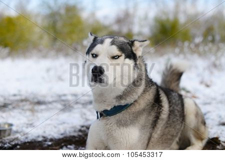 leer dissatisfied sled dog
