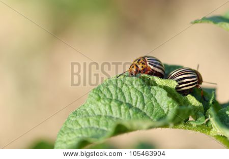 The Two Striped Colorado Beetles