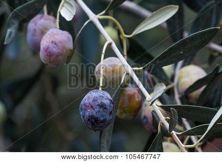 Olive branch.