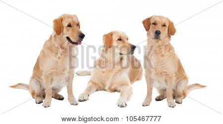 Three Golden Retriever dogs breed in isolated studio on white background