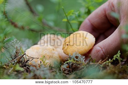 Closeup Of A Chantarell Mushroom And Human Hand