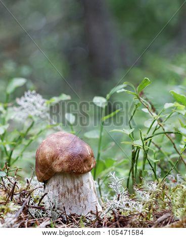 Closeup Of A Penny Bun Mushroom