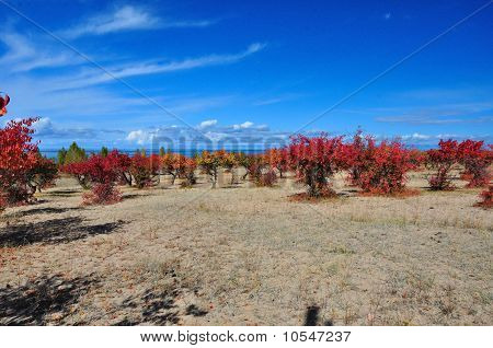 Autumn apricot orchard with blue sky