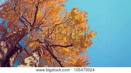 Upward View Of Autumn Tree With Yellow Leaves Against Blue Sky
