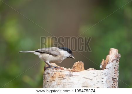 Marsh tit eating seeds sitting on tree trunk