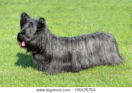 Black Skye Terrier On A Green Grass Lawn