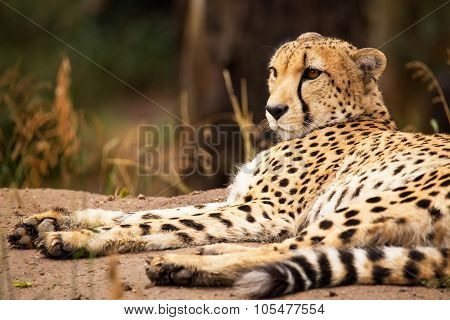 Cheeta Resting In A Shade