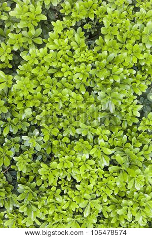 Natural fresh green leaf texture for background