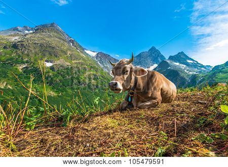 Alpine Region Cow