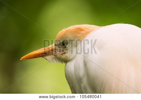 Portrait Of Cattle Egret