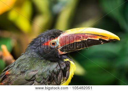 Portrait Of Green Aracari
