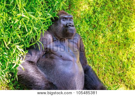 Sleeping Gorilla