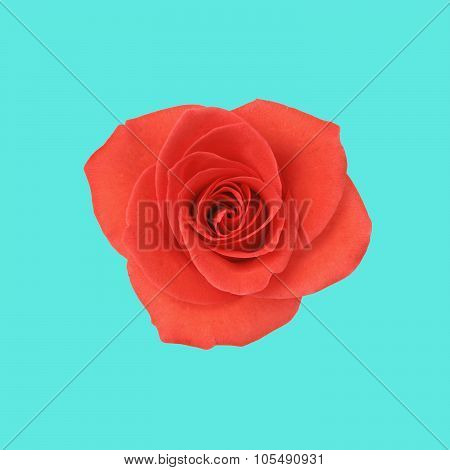 Single red rose on blue background