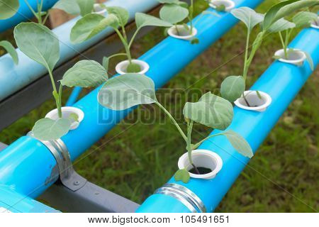 Agriculture Industry Of Young Green Hydroponics Vegetable